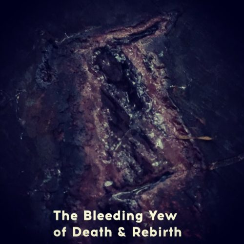 Bleeding Yew Tree