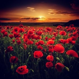 In Flanders Fields - Annabel Du Boulay
